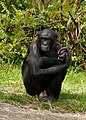 Bonobo plankendaal.jpg