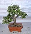 Bonsai of Elephant Bush 08.jpg