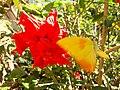 Borboleta Amarela-laranja.jpg