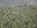 Bosque lleno de For de Palma, San Juanito, San Antonio de las Alazanas, Arteaga, Coahuila - panoramio.jpg
