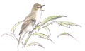 Bosrietzanger Acrocephalus palustris Jos Zwarts 2.tif