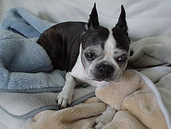 BostonTerrier drowsy.jpg
