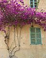 Bouganvillea Majorca (2918371279).jpg