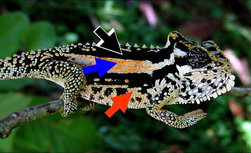 Transvaal  Dwarf Lizard