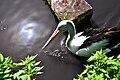 Brillenpelikan (Pelecanus-conspicillatus) Weltvogelpark Walsrode 2010.jpg