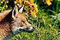 British Wildlife Centre Wildlife (30517770451).jpg