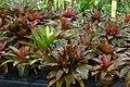 Bromelia neoregelia (Neoregelias sp.) (14917613625).jpg