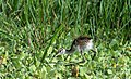 Bronze-winged Jacana Chick (44587040032).jpg