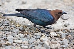 Brown-Headed Cowbird.jpg