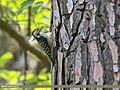 Brown-fronted Woodpecker (Dendrocopos auriceps) (46751754282).jpg