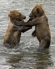 192px-Brown_Bear_Cubs dans OURS