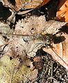 Bruinrode heidelibel vrouwtje.JPG