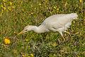 Bubulcus ibis in Israel 1.jpg