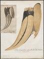 Buceros bicornis - snavel - 1801 - Print - Iconographia Zoologica - Special Collections University of Amsterdam - UBA01 IZ19300204.tif