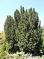 Budai Arborétum. Alsó kert. Közönséges tiszafa vagy tiszafenyő (Taxus baccata). - Budapest.JPG