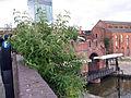 Buddleja davidii spontaneously spreading, Manchester.jpg
