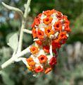 Buddleja marrubifolia flowers 3.jpg