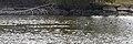 Buffleheads (Bucephala albeola) - Guelph, Ontario 2020-04-12 (01).jpg