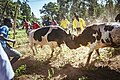 Bullfighting in Kakamega, Kenya.jpg