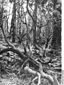 Bundesarchiv Bild 135-KA-02-081, Tibetexpedition, Wald.jpg