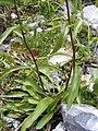 Buphthalmun salicifolium DSCF1600.JPG