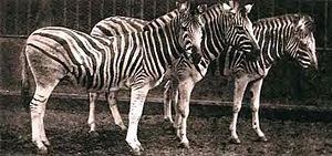 Burchell's zebra - Specimens from the extinct population, 1886.
