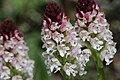 Burnt-tip Orchid - Neotinea ustulata (17313022132).jpg