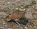 Burrowing Owl Florida.jpg