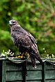 Buteo buteo -Butterfly and Wildlife Park, Lincolnshire-8a.jpg