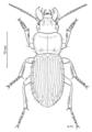 COLE Carabidae Megadromus antarcticus.png