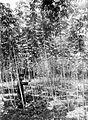 COLLECTIE TROPENMUSEUM Een volwassen cassave-plant TMnr 10011505.jpg