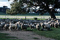 CSIRO ScienceImage 243 Flock of Sheep in Paddock.jpg