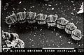 CSIRO ScienceImage 6690 SEM dinoflagellate.jpg