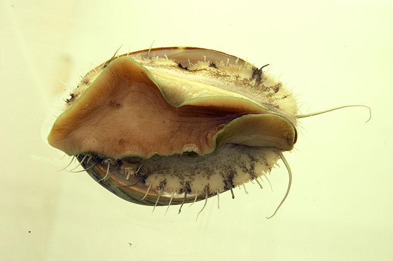 File:CSIRO ScienceImage 7112 Cultured abalone.jpg