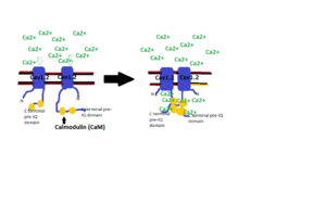 Cav1.2 - Due to simplicity only two Calcium channels are shown to depict clustering. When depolarization occurs, calcium ions flow through the channel and some bind to Calmodulin. The Calcium/Calmodulin binding to the C-terminal pre-IQ domain of the Cav1.2 channel promotes interaction between channels that are beside each other.