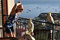 Cacatua galerita -Airlie Beach -balcony-8.jpg