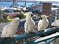 Cacatua galerita -balcony -Sydney -Australia-8.jpg