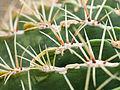 Cactus spines (detail) (14935351642).jpg