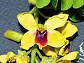 Caesalpinia echinata-flor.jpg