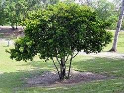 Pau-brasil plantado na Quinta da Boa Vista, Rio de Janeiro.