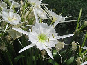 Close-up of Hymenocallis coronaria (Cahaba Lily)