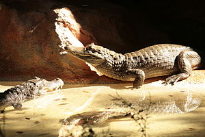 English: Picture of the Caimans at the Caiman ...