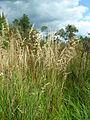 Calamagrostis canadensis 1-jgreenlee (5097814236).jpg