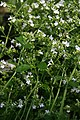 Calamintha nepetoides White Cloud 3zz.jpg