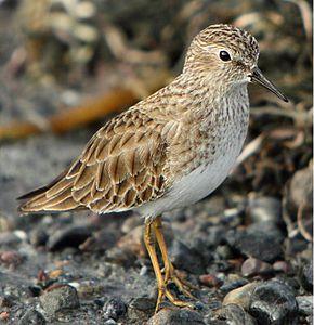 un oiseau - ajonc- 23 mars trouvé par Jovany 290px-Calidris_minutilla