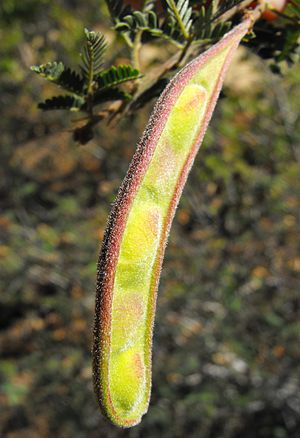 Fruit (pod) of the Calliandra californica.