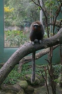 Ornate titi Species of New World monkey