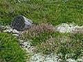 Calluna-vulgaris-biotop.JPG