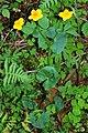 Caltha palustris 7.jpg