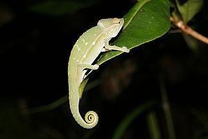 Chamaeleoninae - Perinet chameleon (Calumma gastrotaenia)
